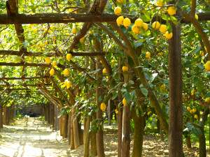 Italy-Sorrento-Lemon-Grove10
